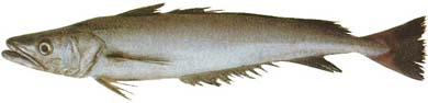 Hake (Merluccius australis)