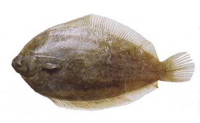 Lemon Sole (Pelotretis flavilatus)