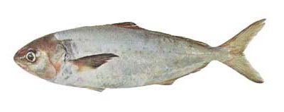 Silver Warehou (Seriolella punctata)